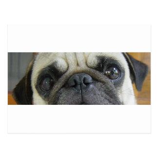 pug fawn eyes.png postcard