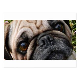 pug fawn eyes postcard