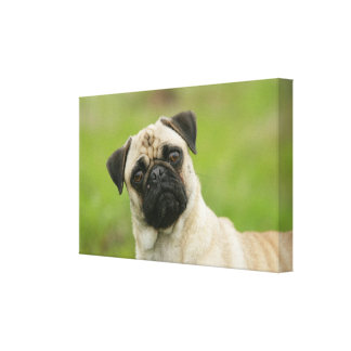 Pug Head Cocked Looking at Camera Canvas Print