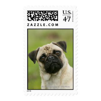 Pug Head Cocked Looking at Camera Postage