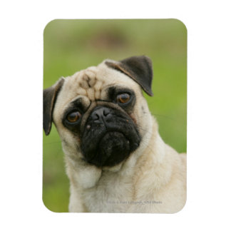 Pug Head Cocked Looking at Camera Rectangular Photo Magnet