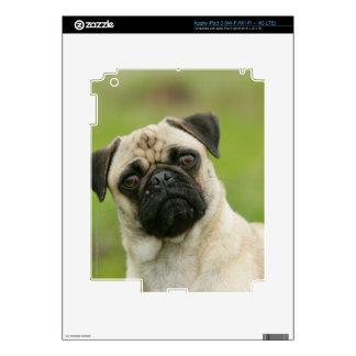 Pug Head Cocked Looking at Camera Skin For iPad 3
