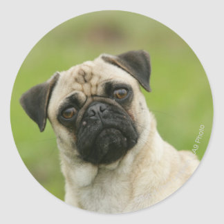 Pug Head Cocked Looking at Camera Classic Round Sticker