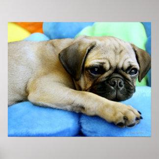 Pug laying on pillows print