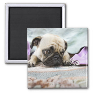 Pug looking innocent after chewing the toe off magnet