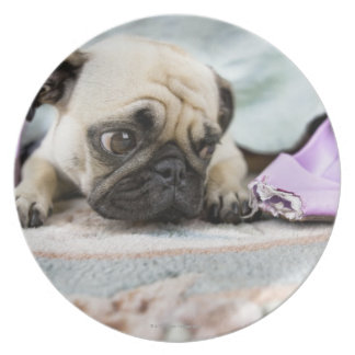 Pug looking innocent after chewing the toe off party plates