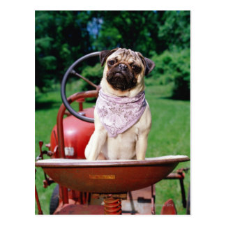 Pug on lawnmower wearing bandana postcard