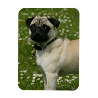Pug Playing in Flowers Rectangular Photo Magnet