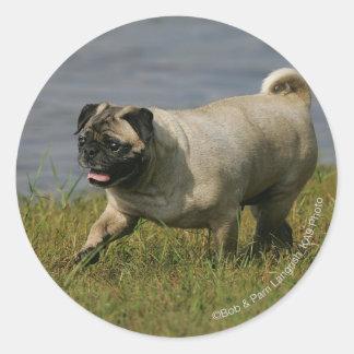 Pug Playing Near Water Classic Round Sticker