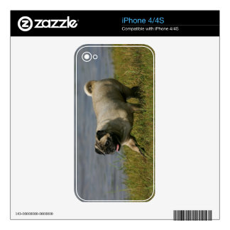 Pug Playing Near Water Decals For The iPhone 4S
