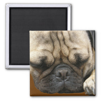 pug puppy 2 inch square magnet