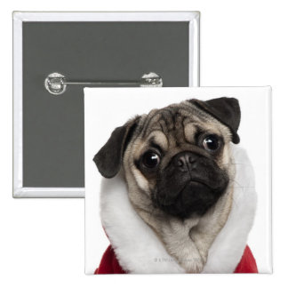 Pug puppy (6 months old) wearing a Christmas Button