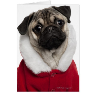 Pug puppy (6 months old) wearing a Christmas Card