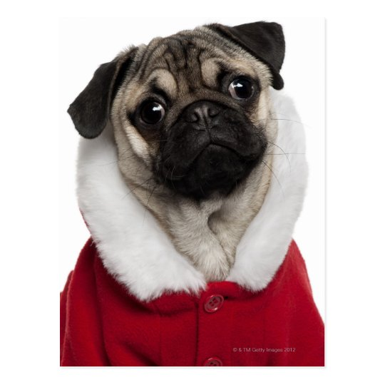 Pug puppy (6 months old) wearing a Christmas Postcard