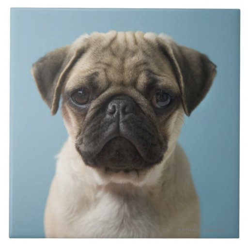 Pug Puppy Against Blue Background Large Square Tile