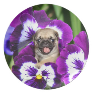 Pug puppy in pansies plate