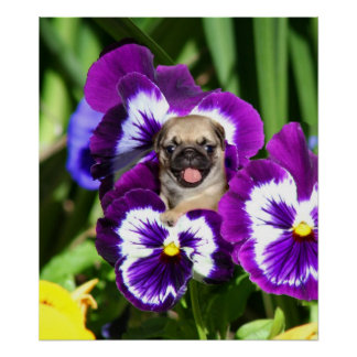 Pug puppy in pansies poster