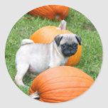 Pug puppy in pumpkins stickers
