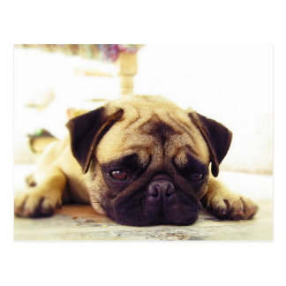 Pug Puppy Laying on the Ground looking Sad Postcard
