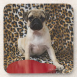 Pug puppy sitting against animal print beverage coasters