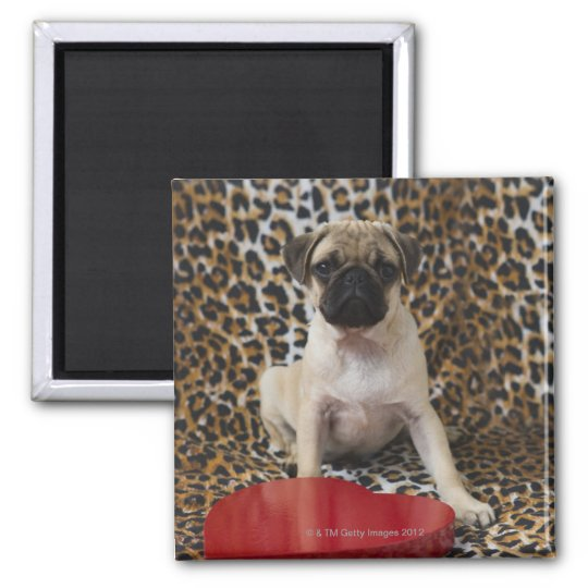 Pug puppy sitting against animal print magnet