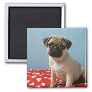 Pug puppy sitting on bed magnet