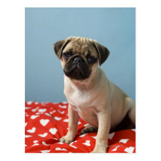 Pug puppy sitting on bed postcard