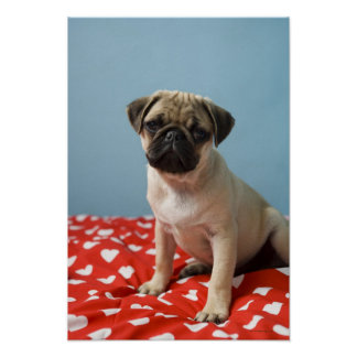 Pug puppy sitting on bed poster