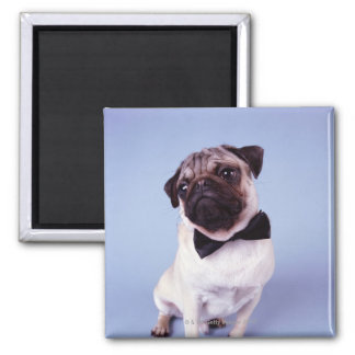 Pug wearing bow tie, close-up 2 inch square magnet