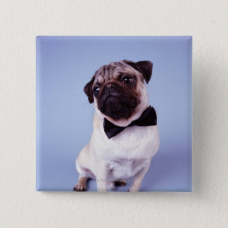 Pug wearing bow tie, close-up button