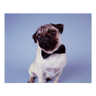 Pug wearing bow tie, close-up poster