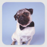Pug wearing bow tie, close-up stickers