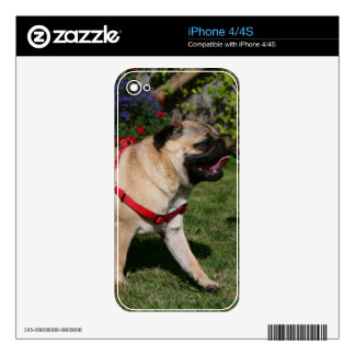 Pug Wearing Red Harness iPhone 4 Skins