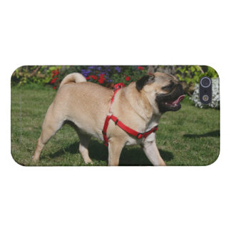 Pug Wearing Red Harness Cover For iPhone 5