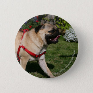 Pug Wearing Red Harness Pinback Button