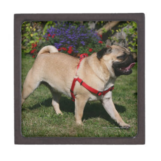 Pug Wearing Red Harness Premium Trinket Box