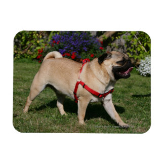 Pug Wearing Red Harness Rectangular Photo Magnet