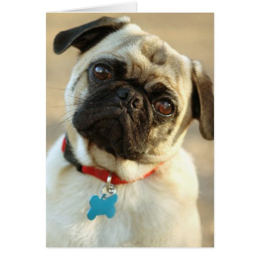 Pug with a Questioning Expression Greeting Card