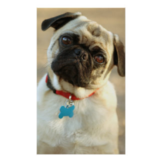 Pug with a Questioning Expression Posters