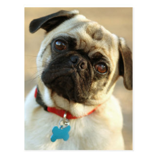 Pug with a Tilted Head and Questioning Expression Postcard