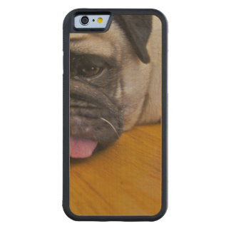 Pug with One Too Many Carved® Maple iPhone 6 Bumper Case