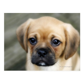 Pugalier Puppy Looking at Camera Postcard