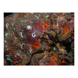 Puget Sound King Crab Poster