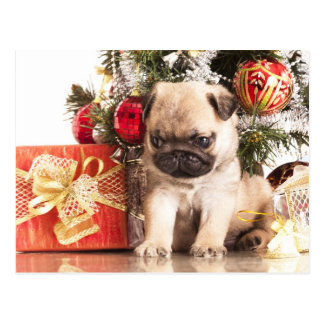 Pugs and Christmas gifts Post Cards