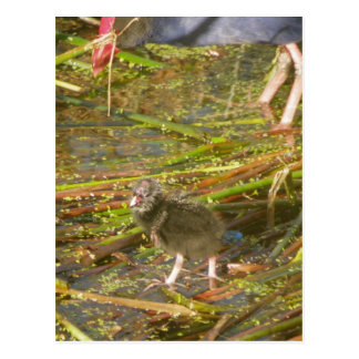 Pukeko and Chick in Reeds Postcard