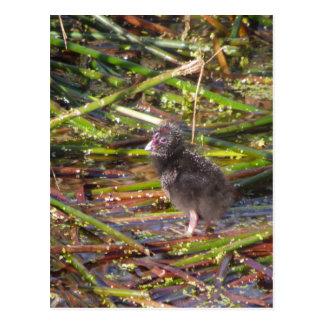 Pukeko Chick Postcard