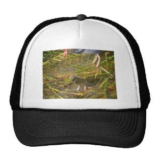 Pukeko y polluelo en cañas gorra