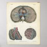 Pulmón y impresión de la anatomía de los bronquios posters