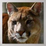 Puma Cat Poster