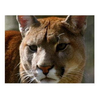 Puma Cats Postcard